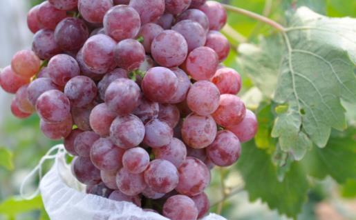 葡萄营养价值高 葡萄搭配其它水果做成果汁风味独特
