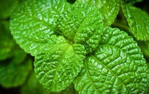 对身体有益的香味食物 薄荷能够减轻头痛提高反应力