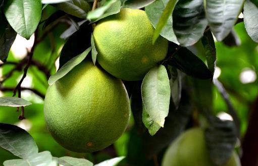 柚子皮的生活小妙用及药用价值 用于驱逐蚊虫效果好