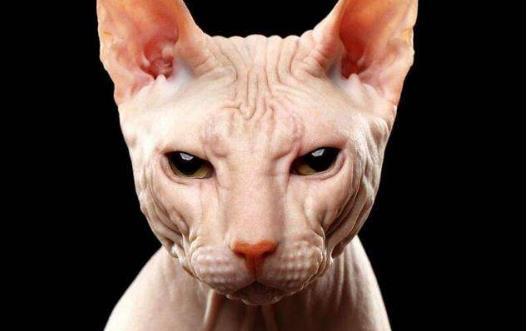 無毛貓不是真的無毛 不能讓貓毛過敏者實現養貓愿望