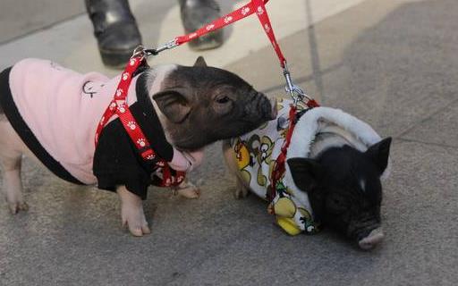 遛狗算什么溜豬才新潮 長不大的迷你豬備受關注