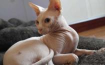无毛猫不是真的无毛 不能让猫毛过敏者实现养猫愿望
