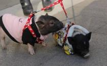 遛狗算什么溜猪才新潮 长不大的迷你猪备受关注
