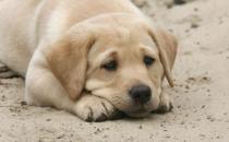 狗狗经常叹气是否是因心情不好 不要忽视狗狗的叹气