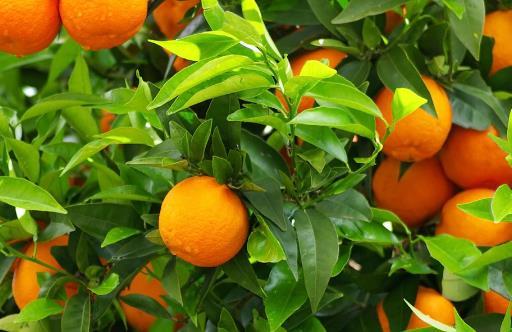 橘子全身都是宝,运脾祛湿效果好!