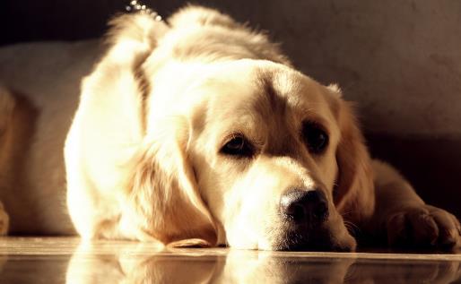 金毛遛完后肉墊竟然受傷 養護狗狗一定要注意的細節