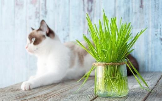 只知貓草能吐毛球可就落伍了 常見的貓咪食用植物