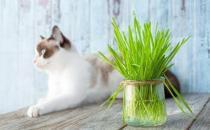 只知猫草能吐毛球可就落伍了 常见的猫咪食用植物
