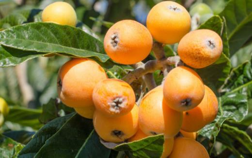 寒初荣橘柚夏首荐枇杷 枇杷的功效与作用