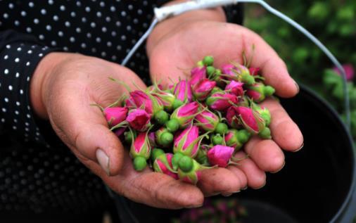 玫瑰花茶的功效与作用 想要美容养颜可多喝它