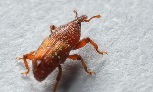 米虫为谷物中主要的害虫 教你简单一招彻底杀死米虫