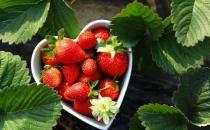 采摘草莓必备的小诀窍 草莓采摘的注意事项
