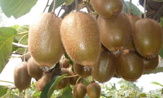 猕猴桃的催熟方法 猕猴桃的保存法