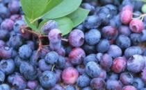蓝莓增强记忆力及自身免疫力 吃蓝莓的禁忌