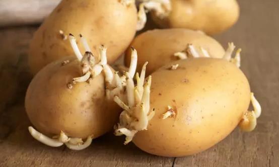 这4类发芽菜发芽不能食用 不利人体健康