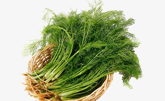 茴香菜的功效与作用 茴香菜的食用禁忌