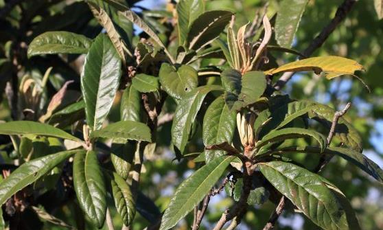 枇杷果是营养保健的养生水果 枇杷治咳嗽食疗方推荐