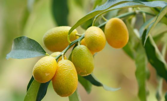 金桔的功效和功能腌制金桔味道鲜美