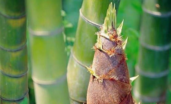 竹笋的7大功效和作用 食用竹笋应了解竹笋的禁忌