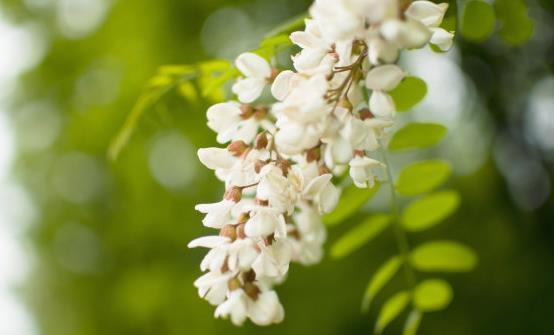 槐花的药用价值和副作用是一种简单、美味、开胃的方法