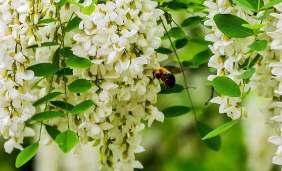 洋槐花的药用价值和副作用 洋槐花简单美味又解馋的做法