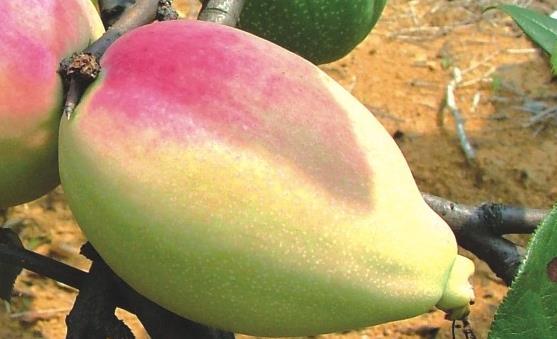 宣木瓜具有延缓衰老、抗菌消炎等作用。宣木瓜的食用方法