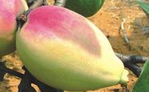 宣木瓜能延缓衰老抗菌消炎 宣木瓜的食用方法