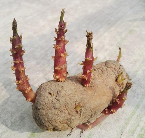 土豆发芽了还能吃吗?刚发芽的土豆可以吃吗