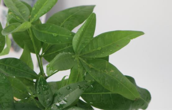 小盆栽的发财树能长大吗 发财树小盆栽怎么养